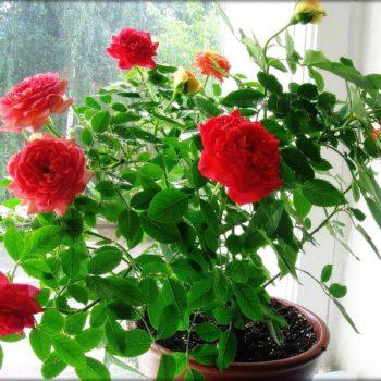 Болезни и вредители комнатной розы