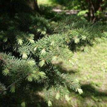 Лжетсуга: описание, уход и посадка, размножение, применение в саду, фото