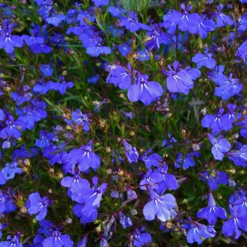 Лобелия: описание лобелии, размножение лобелии, посев семян.