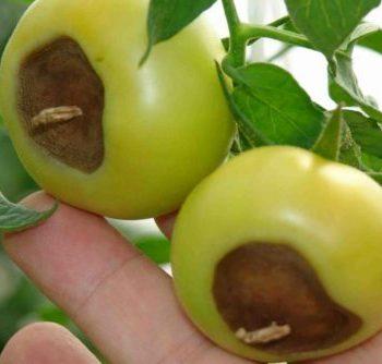 Вершинная гниль на помидорах: лечение народными средствами