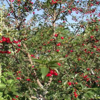 шпанка вишня