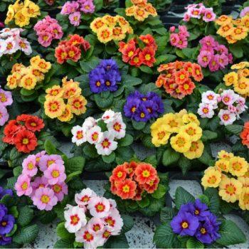 Примула садовая