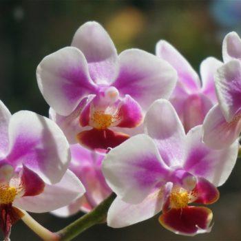 Цветет орхидея