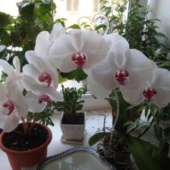 Орхидея В Период Цветения