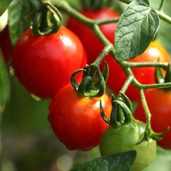 chtoby_pomidory_bystro_pokrasneli