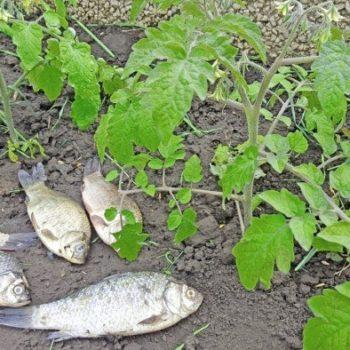 ryba dlja tomatov