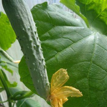 Чем подкормить огурцы в дождливую и прохладную погоду