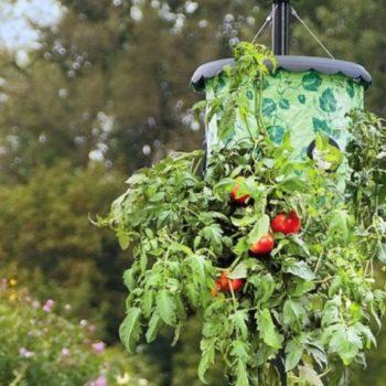 vyraschivanie pomidorov vverh nogami