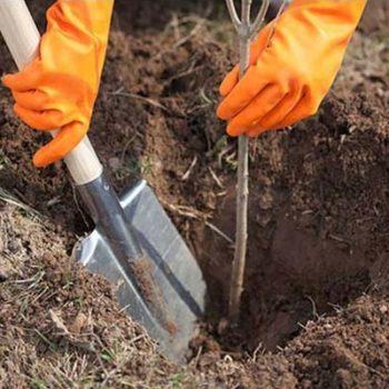 Как посадить черешню весной саженцами