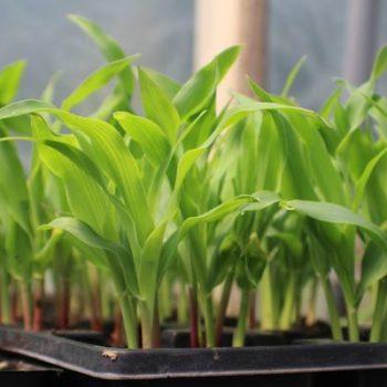 Когда сажать кукурузу на рассаду