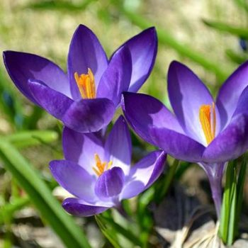 Крокус: описание цветка с фото