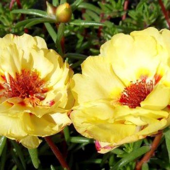 Что такое портулак: описание растения, популярные сорта с фото, особенности выращивания рассады и уход в открытом грунте