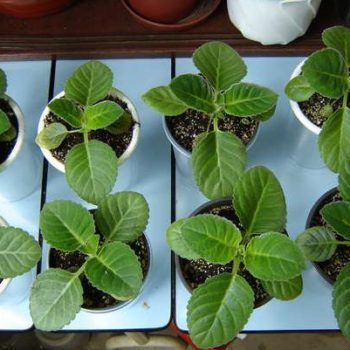 Глоксиния: размножение цветка