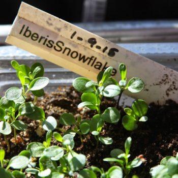 Иберис из семян